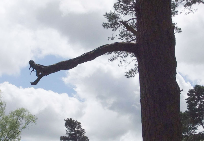 The Dragon Tree at Leith Hill